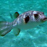 Японская рыба фугу: блюда из рыбы, технология приготовления и причины отравления