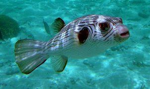 Японская рыба фугу